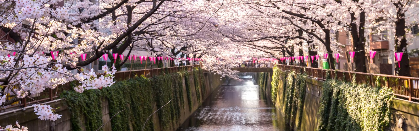 cherry-blossoms12